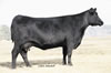 Notasulga Alabama Angus breed stock